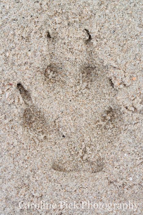 Pootafdruk van een vos