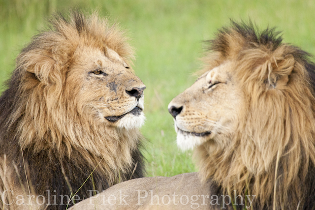 Portrait of two resting male lions (Panthera leo)
