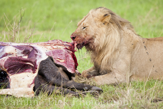 African Lion (Panthera leo) male feeding on African Buffalo (Syncerus caffer)